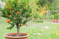 Young Citrus Tree in a Pot