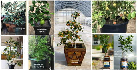 Assorted Citrus Tree Photos