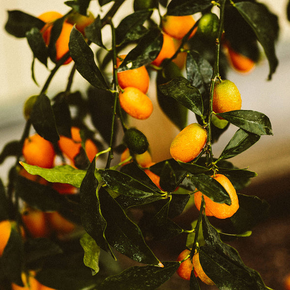 Kumquat Fruit Growing