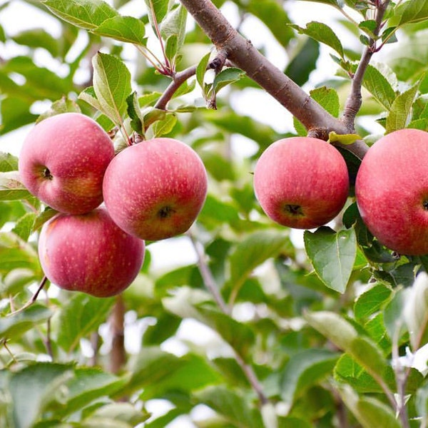 Native Macintosh Apples