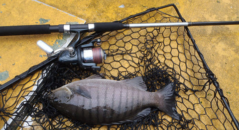 Blackfish are such good eating and using light tackle is perfect for them