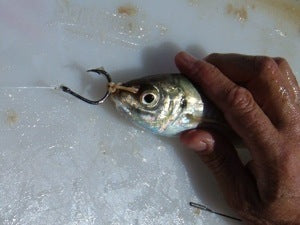 Attach the hook the the rubber band in the live bait