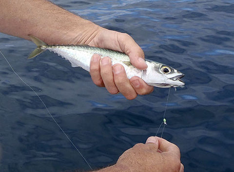 Attaching a slimy mackerel live bait to fishing line