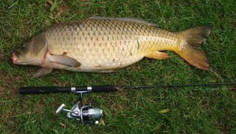 Carp caught on the Downrigger Shop Light combo
