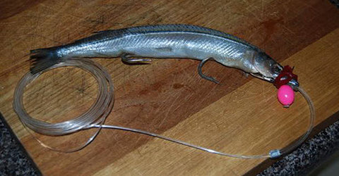 A Garfish rigged with Head Start trolling lure and fishing line leader