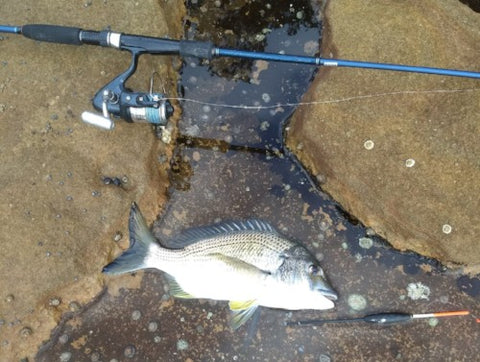 A nice Bream caught off the rocks