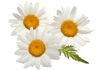 aura_beauty_flow_cosmetics_(羅馬洋甘菊)_roman_chamomile