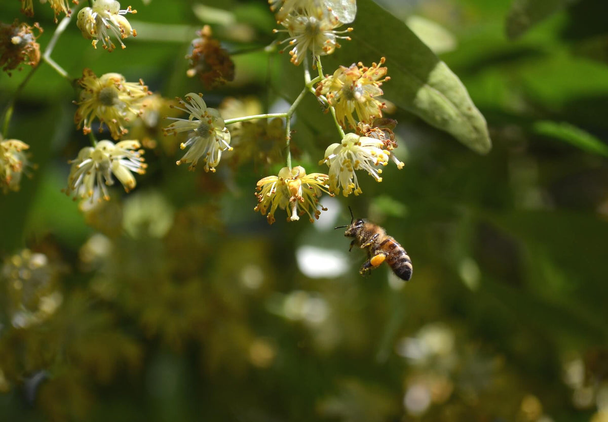 The benefits of linden honey
