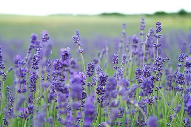 Flower of the month: lavender