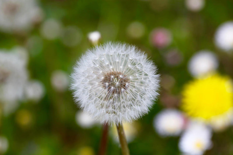products/Dandelion.jpg