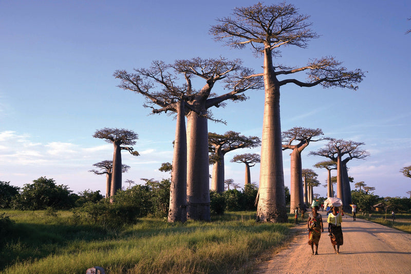 products/WorldEx_Baobab_tree-_Madagascar_39374a86-3e57-4de9-9c7f-3da31f5a1f68.jpg