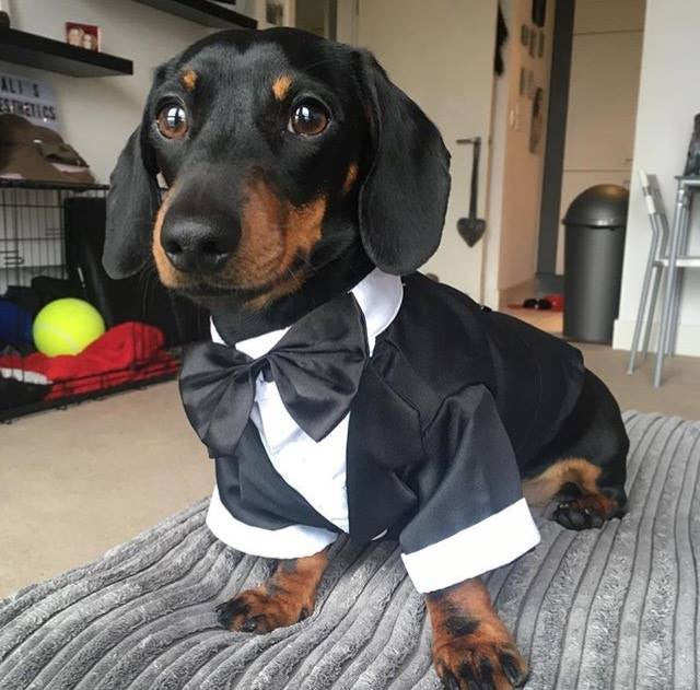 New small Dog Tuxedo Bow Tie Wedding Suit Costumes Coat ...