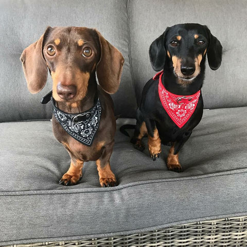 Dachshund Bandana Collar, Cool Dog Collars