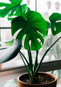 Monstera Plant Care Instructions