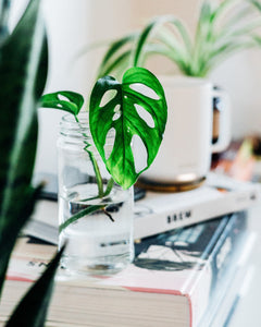 Propagating your Monstera Plant
