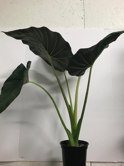 Alocasia - Regal Shield
