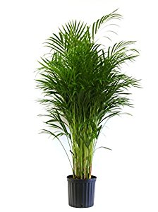 "Areca Palm Tree 10"" - Limited Availability - Back Orders Accepted"