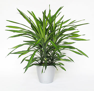 Dracaena Rikki Deremensis - Limited availability - Back orders accepted