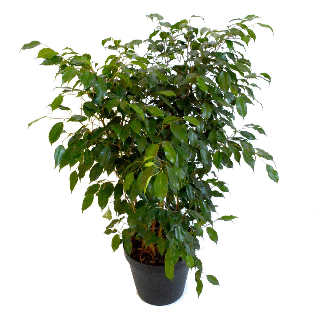 ficus 39 benjamina 39 ottawa plants. Black Bedroom Furniture Sets. Home Design Ideas
