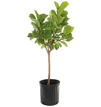 Ficus 'Lyrata' Standard - In Stock Now!!!