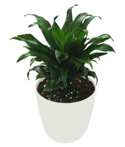 Dracaena Dragon Series - Green jewel