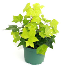 Ivy 'Algerian' - Currently out of Stock will be available again in Spring - Back Orders accepted