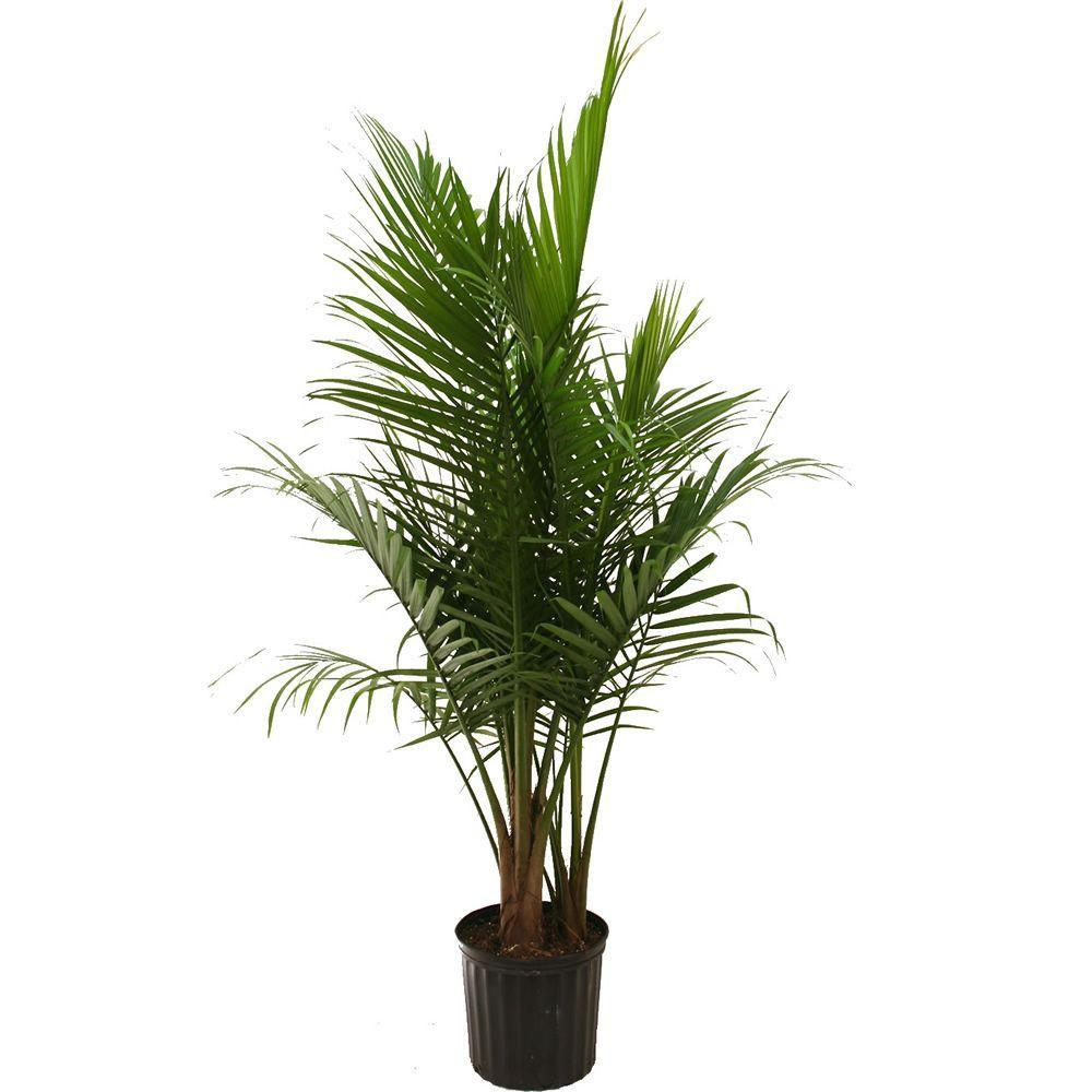 Ravenea rivularis - Majesty palm