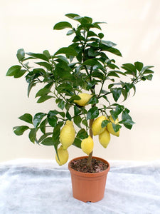 Meyer Lemon - Limited Availability - Back orders accepted