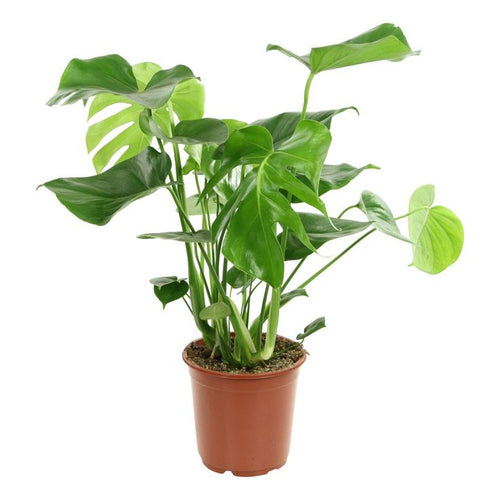 Philodendron Monstera - Limited availability - Back orders accepted