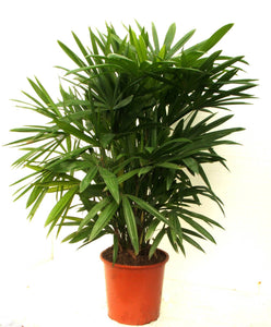 Rhapis Palm - Special Order - Limited availability
