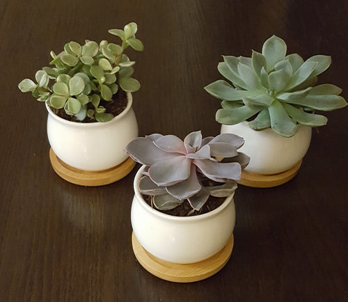 Succulent Gift Pack