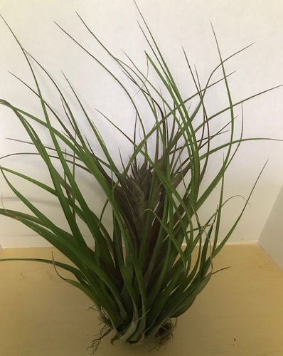 Large Air Plants