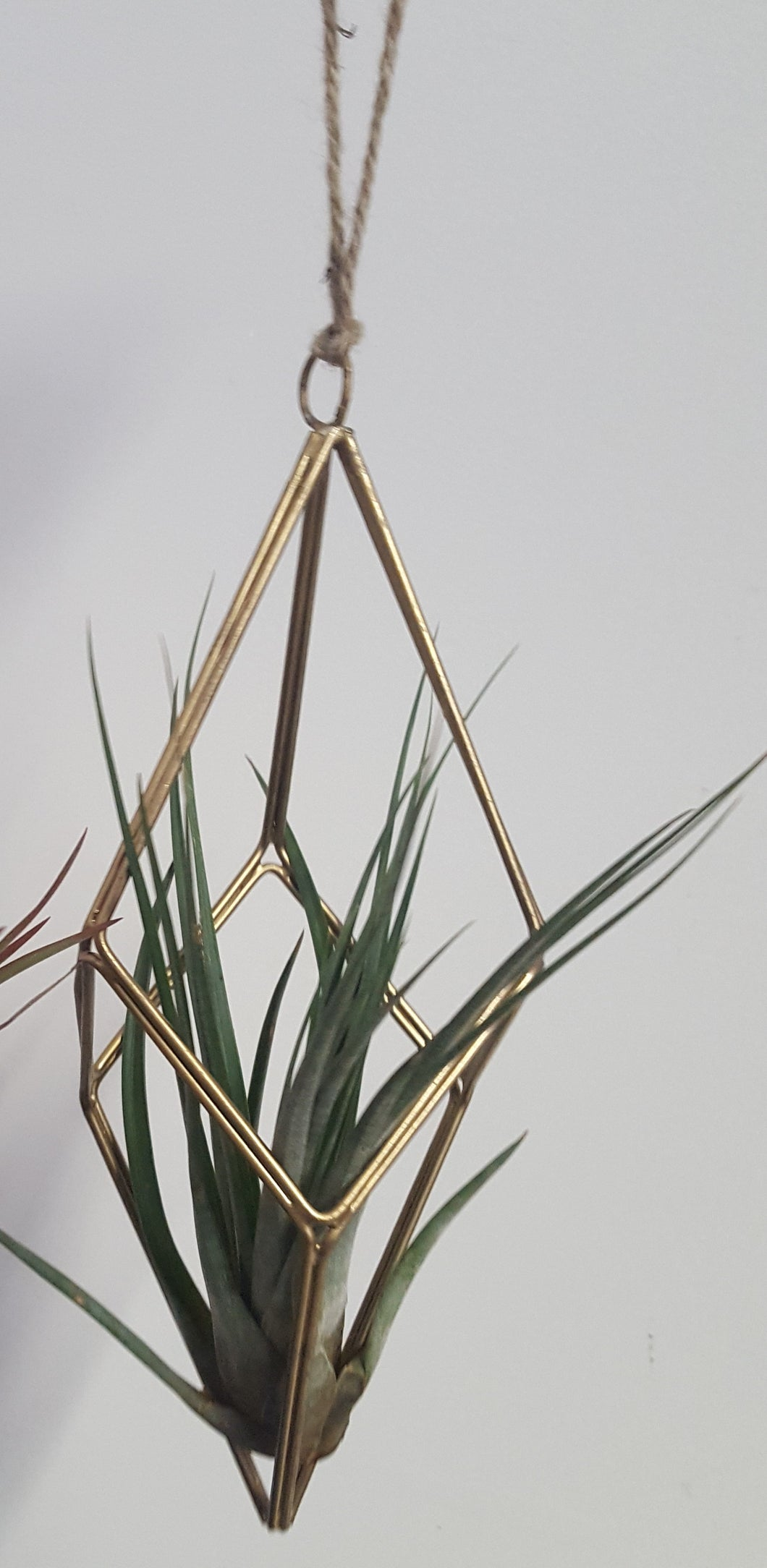 Tillandsia Hanger with Plant - Large