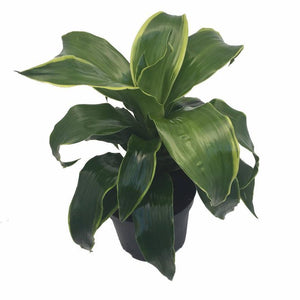 Dracaena Dragon Series - Dorado