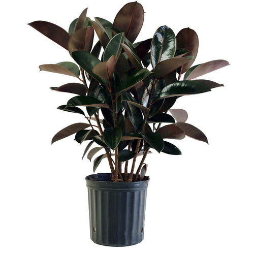Ficus Elastica  - Currently in Stock!