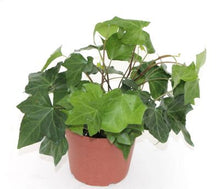 Ivy 'Algerian' - Limited Availability back orders accepted