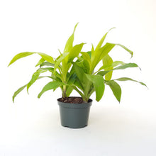 Dracaena fragrans - 'Limelight'