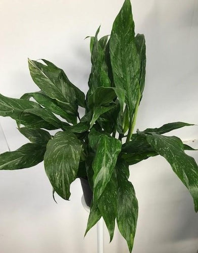 Spathiphyllum - Veriegated