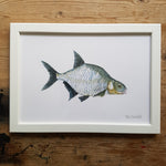 "Artprint watercolor ""fish common bream"""