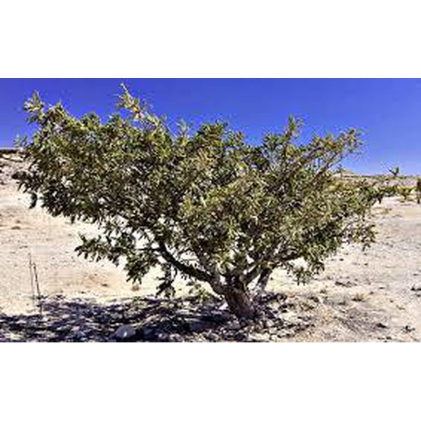 Frankincense v Frankincense Essential Oil – Which Wins in the Battle Against Cancer?      By Claire Galea