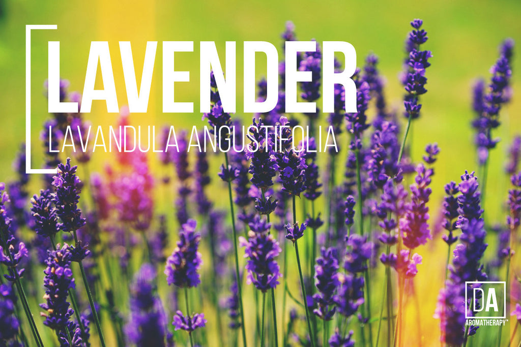 Mighty Lavender - DA Aromatherapy Featured Herbs Series