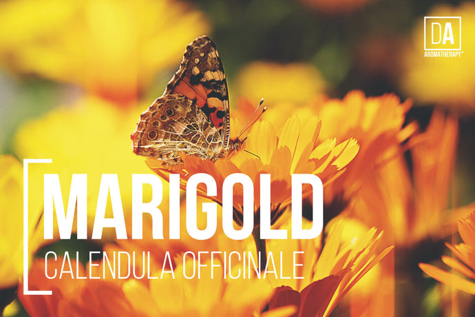 Marigold (Calendula Officinale) - DA Aromatherapy Featured Herbs Series
