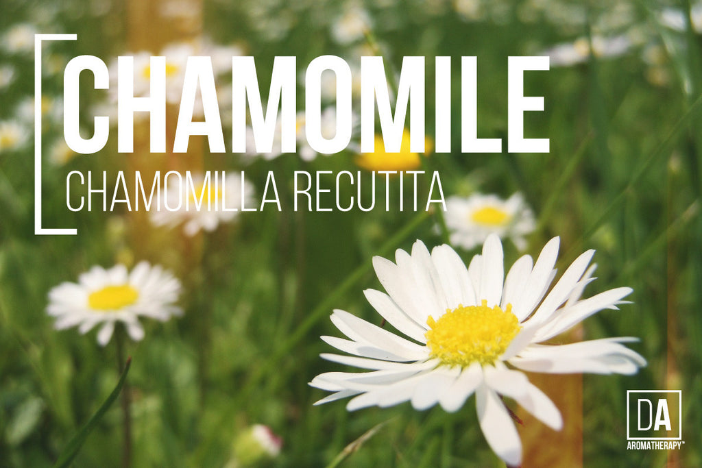 DA Aromatherapy - Experience the Magic of Hudson Valley - Chamomile Flower Extract