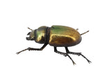 Metallic Lesser Stag Beetle Wall Hanging Ornament