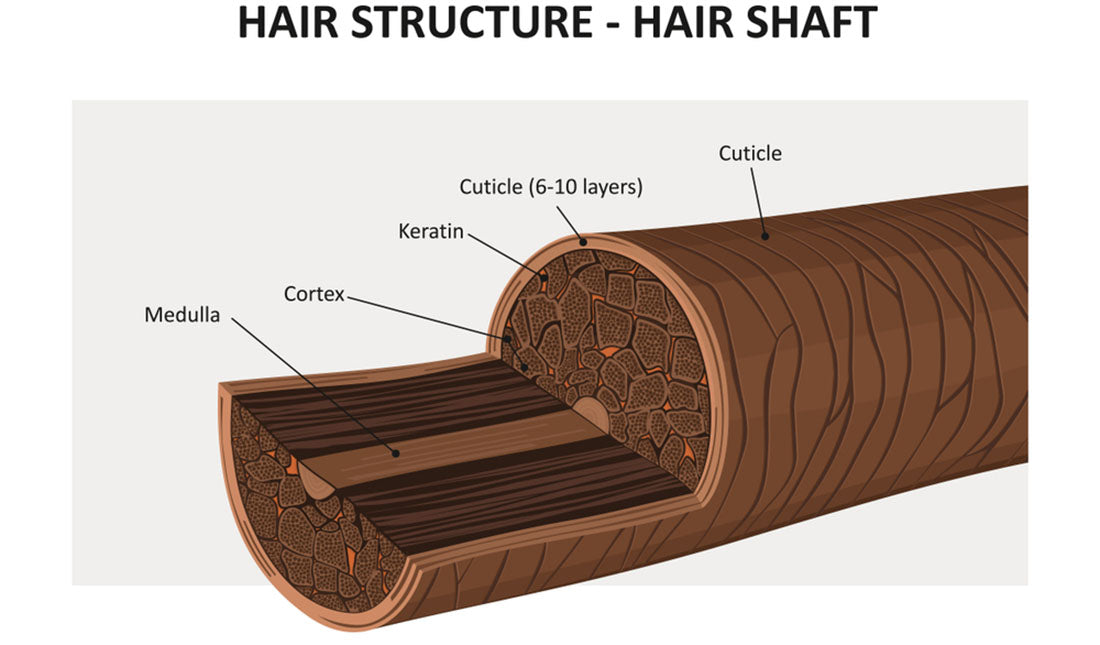 hair shaft anatomy illustration