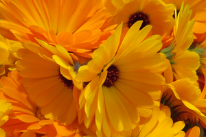 Botanical Blessings Calendula Flowers, herbal Infusions in skin cares