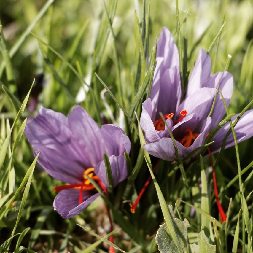 Where to Buy Saffron