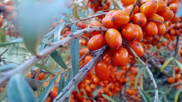 Sea Buckthorn Oil: The Orange Berry With Major Skin Benefits
