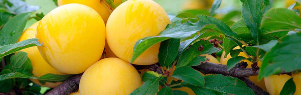 Ximenia Oil: This African Fruit Is Skincare's Next Argan Oil