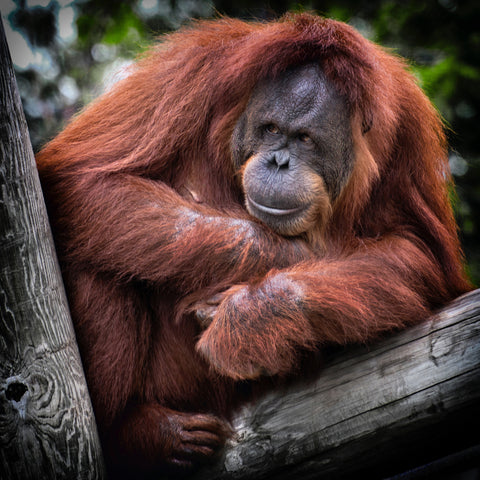 Wabi-Sabi Botanicals Palm Oil Reasons To Avoid Orangutan Extinction